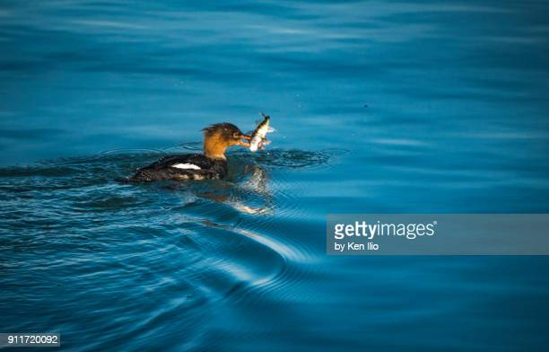 female red breasted merganser with food - ken ilio stock pictures, royalty-free photos & images