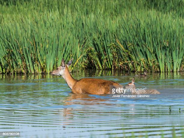 a female red deer (cervus elaphus) wades a pond followed by its fawn. - biche photos et images de collection