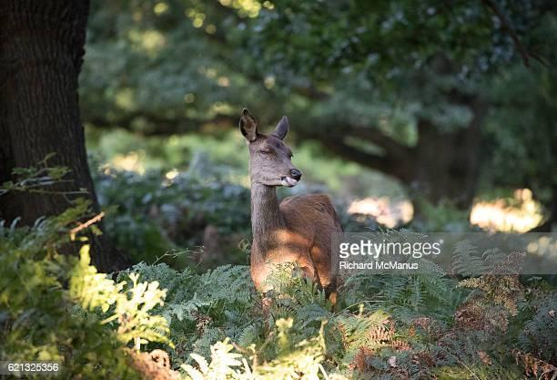 female red deer with sly glance at richmond park. - femmina di daino foto e immagini stock