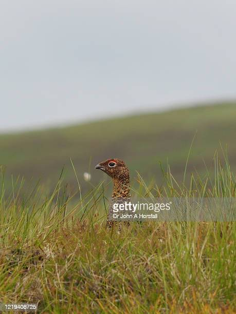 a female red grouse rests among rough grassland in the scottish highlands - central scotland stock pictures, royalty-free photos & images