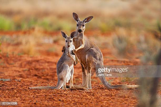 a female red kangaroo holds her juvenile joey while he reaches up for her - animal family stock pictures, royalty-free photos & images