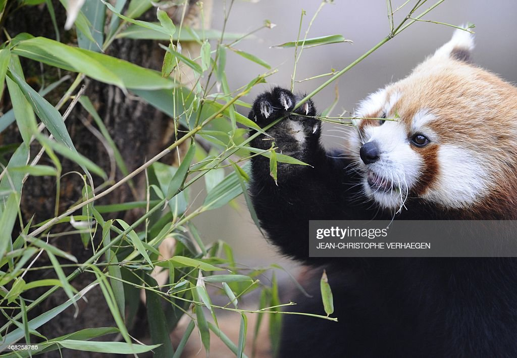 A female red panda eats bamboo during its first public appearance at the Animal Park of Sainte-Croix in Rhodes, eastern France, on April 1, 2015.