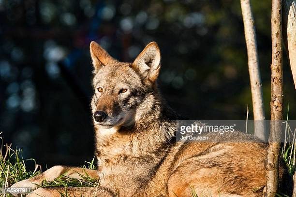 female red wolf resting - red wolf stock photos and pictures