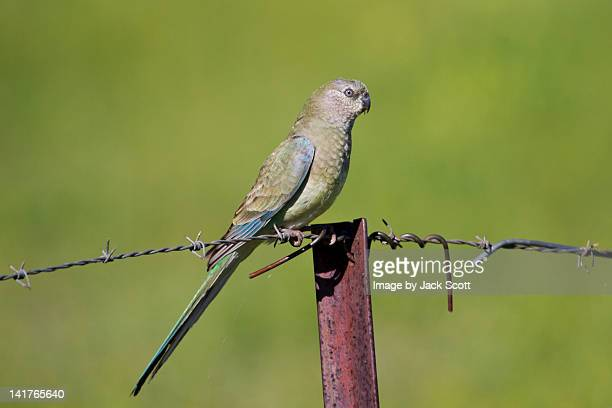 Female red-rumped parrot