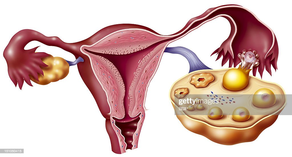 Female Genitalia, Drawing Pictures | Getty Images