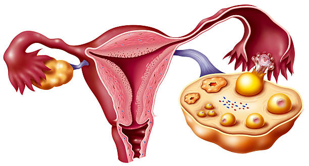 Female Genitalia Drawing Pictures Getty Images