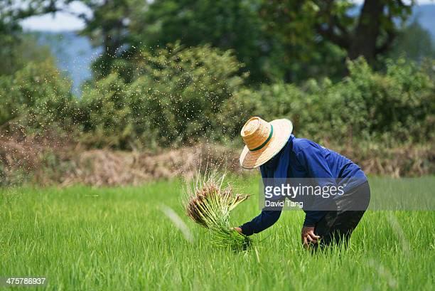 Female rice farmer works in the fields.