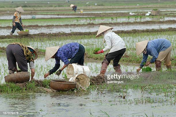 Female rice farmers working in the fields
