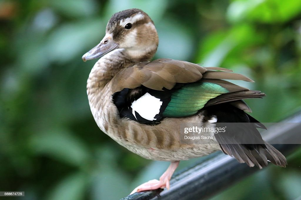 Female ringed teal duck : Stock Photo