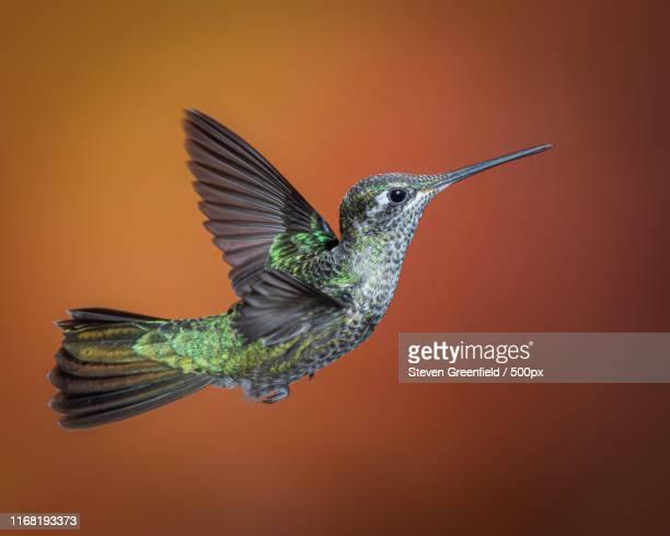 female rivoli's hummingbird - arizona bird stock pictures, royalty-free photos & images