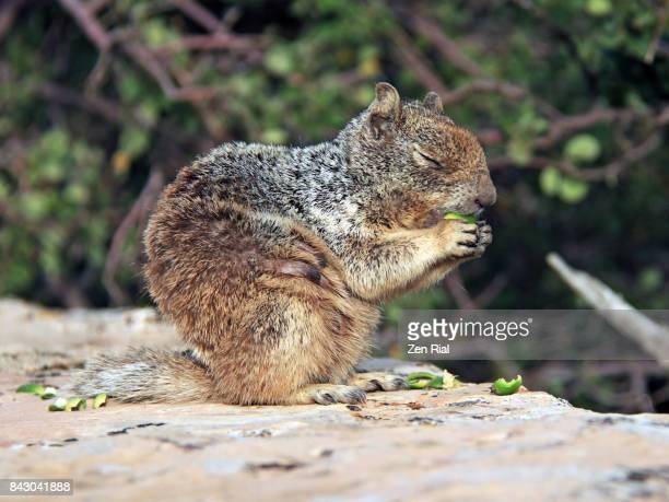 A female Rock Squirrel (Otospermophilus variegatus) eating acorns