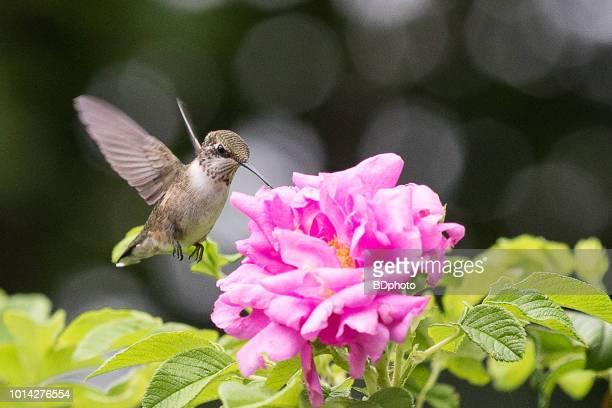 Female Ruby Throated hummingbird in flight