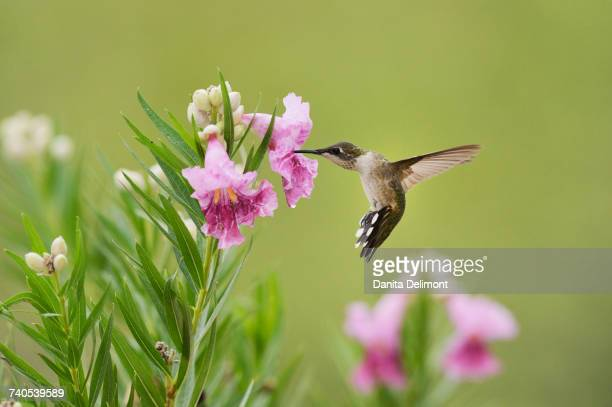 Female Ruby-throated Hummingbird (Archilochus colubris) feeding on blooming Desert willow (Chilopsis Linearis), Hill Country, Texas, USA