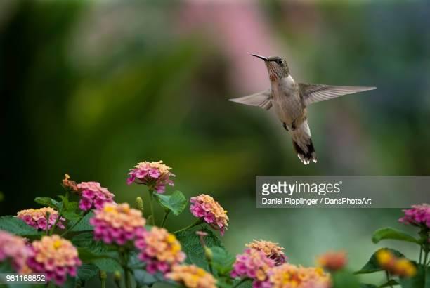 Female ruby-throated hummingbird (Archilochus colubris) flying over lantana flowers