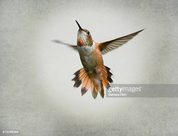 Female rufous hummingbird in flight