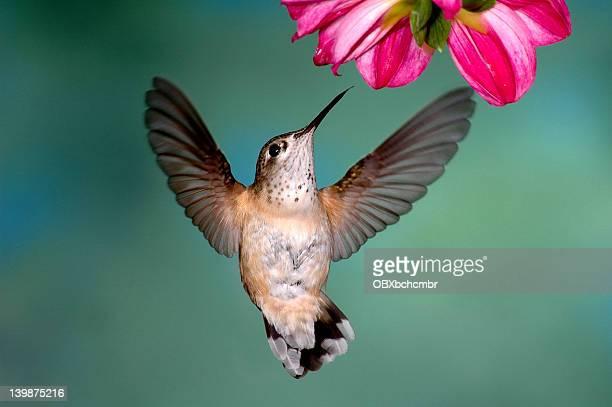 female rufous hummingbird - hummingbird stock photos and pictures