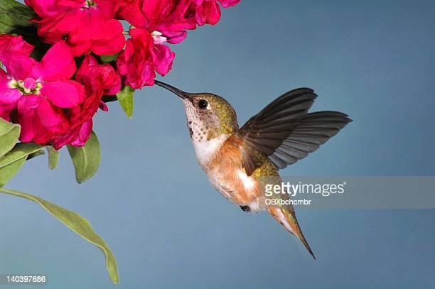 fêmea selasphorus rufus (selasphorus rufus) - beija flor imagens e fotografias de stock