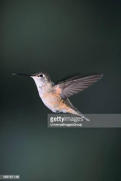 Female Rufus Hummingbird in flight Flagstaff Arizona
