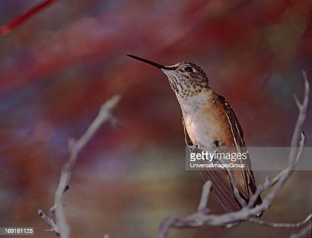 A female Rufus hummingbird perches on a branch against a red background at the Arizona Sonora Desert Museum in Tucson Arizona Common from...
