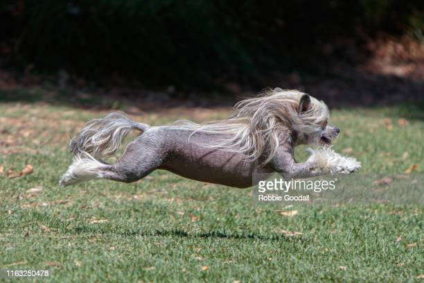 a female sable and white hairy hairless chinese crested dog having fun at a dog park. - one animal stock pictures, royalty-free photos & images