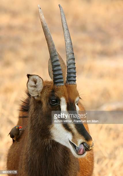 female sable antilope with red billed oxpecker - palanca negra imagens e fotografias de stock