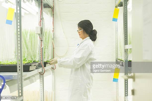 female scientist choosing plant samples in greenhouse lab - sigrid gombert stock-fotos und bilder