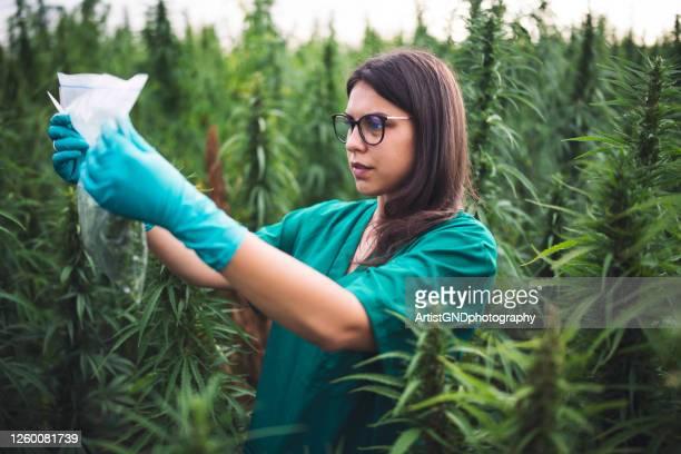 大麻を調べる女性科学者 - カンナビスサティバ ストックフォトと画像