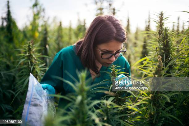 female scientist examining cannabis - cbd oil stock pictures, royalty-free photos & images