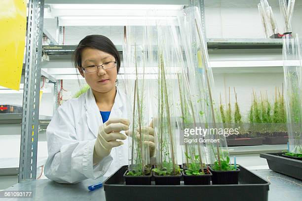 female scientist looking at plant sample in greenhouse lab - sigrid gombert stock-fotos und bilder