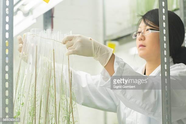 female scientist preparing plant sample in greenhouse lab - sigrid gombert stock-fotos und bilder