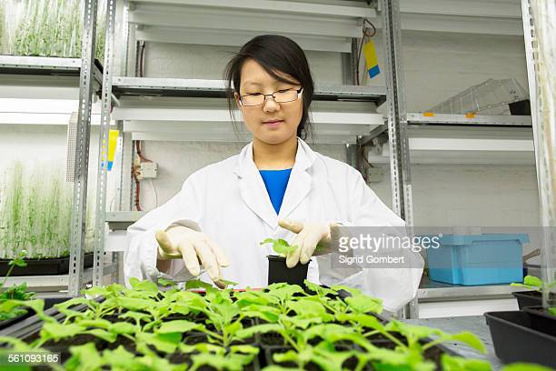 female scientist selecting plant sample in greenhouse lab - sigrid gombert stock-fotos und bilder