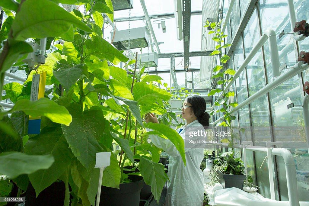 Female scientist testing plant sample in greenhouse lab : Stock-Foto