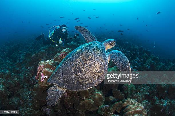 female scuba diver filming a galapagos green turtle - darwin island stock photos and pictures