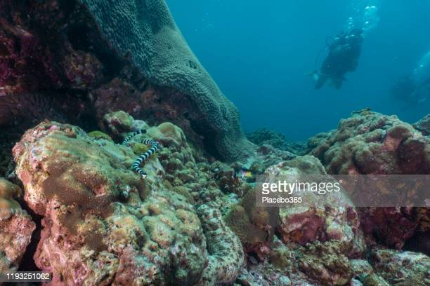 水中サンゴ礁のヘビを指し示す女性スキューバダイバー - スクーバダイビングの視点 ストックフォトと画像
