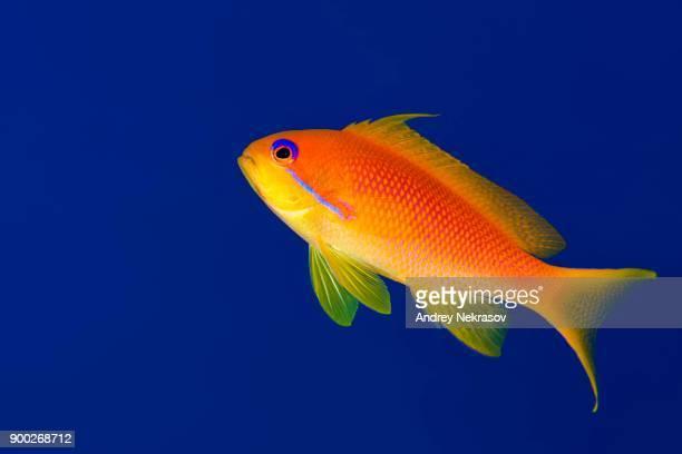 Female sea goldie (Pseudanthias squamipinnis) in blue water, Red sea, Sharm El Sheikh, Sinai Peninsula, Egypt