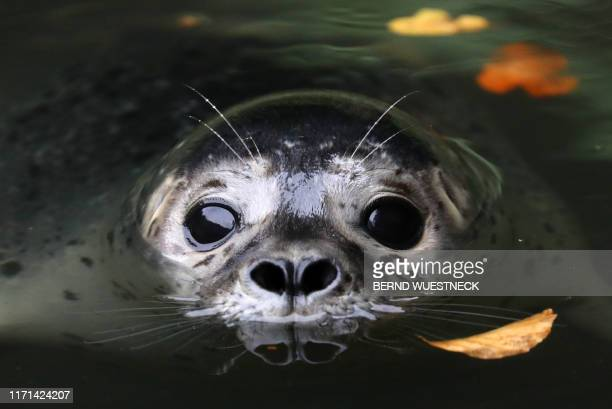 """Female seal """"Lotte"""" swims in a pool of her enclosure at the zoo in Rostock, northeastern Germany, on September 27, 2019. / Germany OUT"""