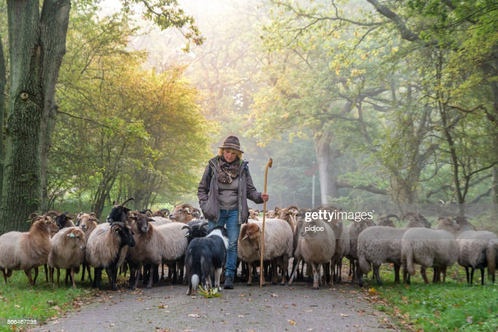Female Shepherd And Flock Of Sheep Her Dogat A Foggy Sunrise In The Woods