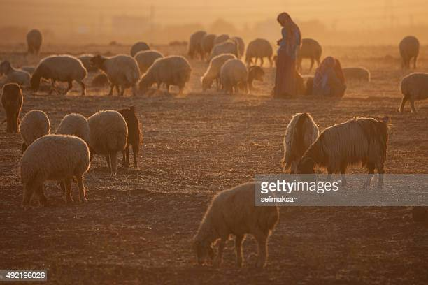 Female Shepherd And Flock Of Sheeps In Sunset