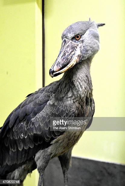 A female shoebill is seen at the Noichi Zoological Park on April 20 2015 in Konan Kochi Japan The zoo takes female shoebill to challenge an...