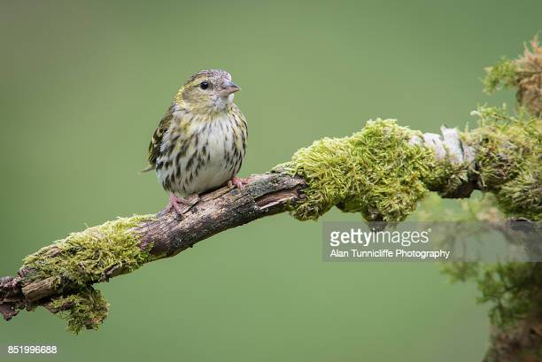 female siskin - perching stock photos and pictures