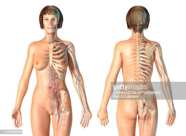 female skeletal and cardiovascular systems, illustration - blood flow stock pictures, royalty-free photos & images