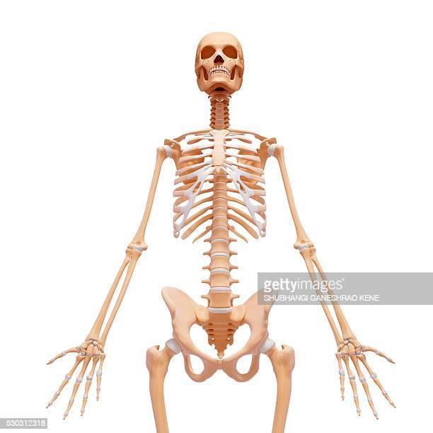 female skeleton, computer artwork. - femur fotografías e imágenes de stock