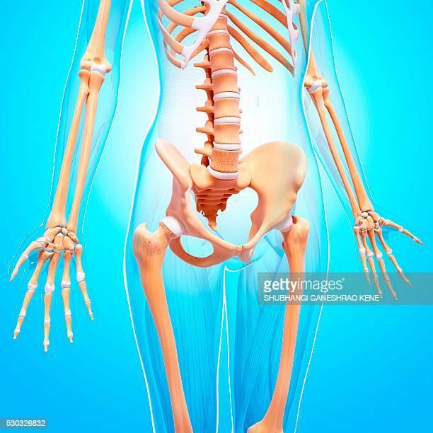 female skeleton, computer artwork. - human vertebra stock pictures, royalty-free photos & images
