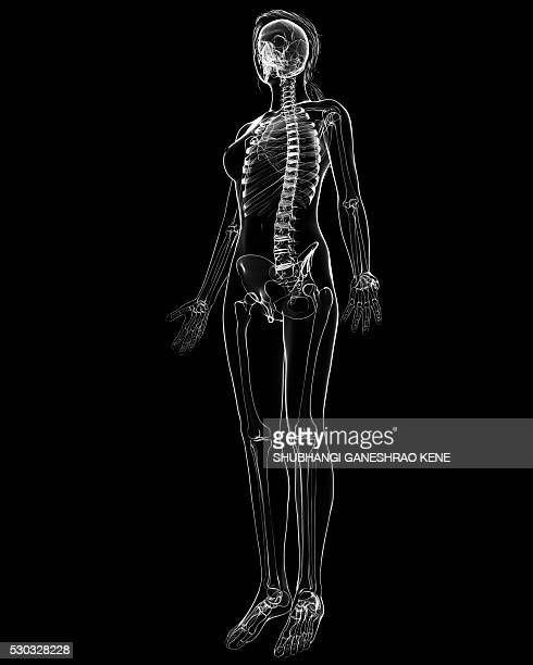 female skeleton, computer artwork. - female anatomy stock photos and pictures