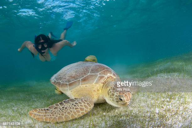 female snorkeler and green turtle eating on sea grass bed in Akumal Mexico Caribbean sea
