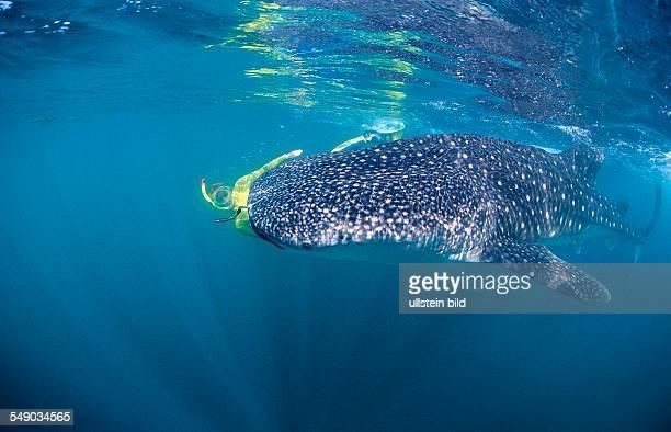 Female snorkeler swims with Whale shark Rhincodon thypus Djibouti Djibuti Africa Afar Triangle Gulf of Aden Gulf of Tadjourah