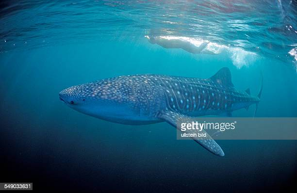 Female snorkeler swims with Whale shark Rhincodon thypus Seychelles Africa Indian Ocean