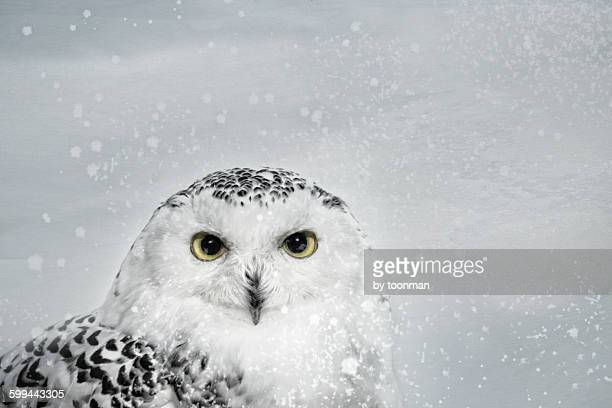 female snowy owl - snowy owl stock pictures, royalty-free photos & images