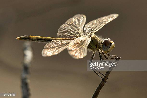 A female Southern Darter dragonfly Sympetrum Meridionale is pictured in kibbutz Netiv Haasara in southern Israel along the Mediterranean coast on...