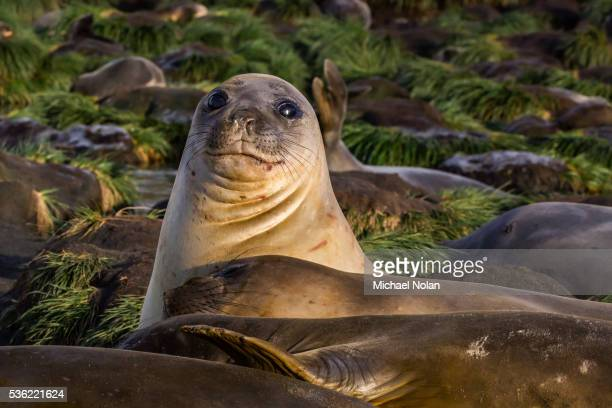 Female southern elephant seal (Mirounga leonina), in Gold Harbor, South Georgia, UK Overseas Protectorate, Polar Regions